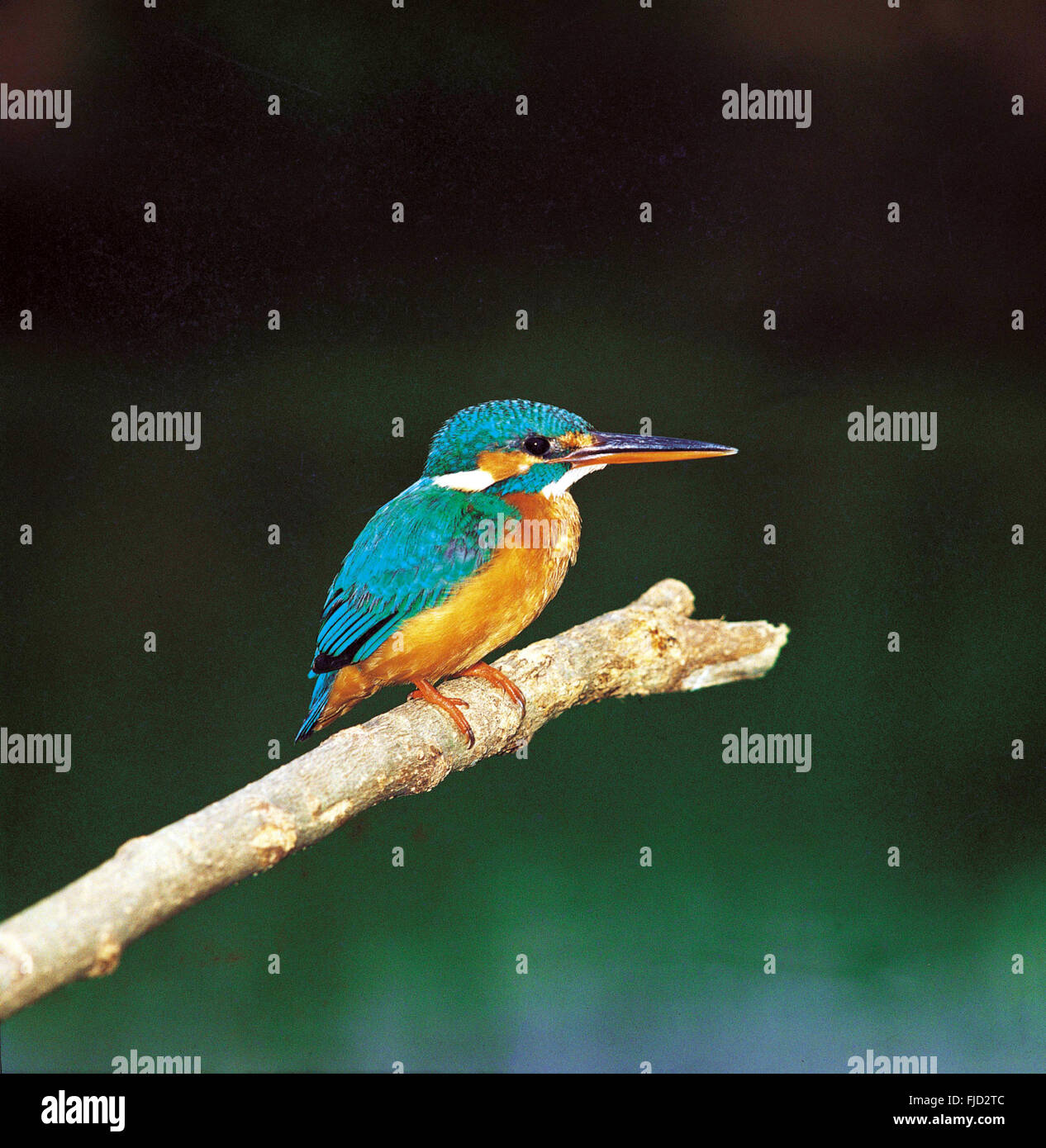Kingfisher bharatpur bird sanctuary, ranthambore, rajasthan, india, asia - Stock Image