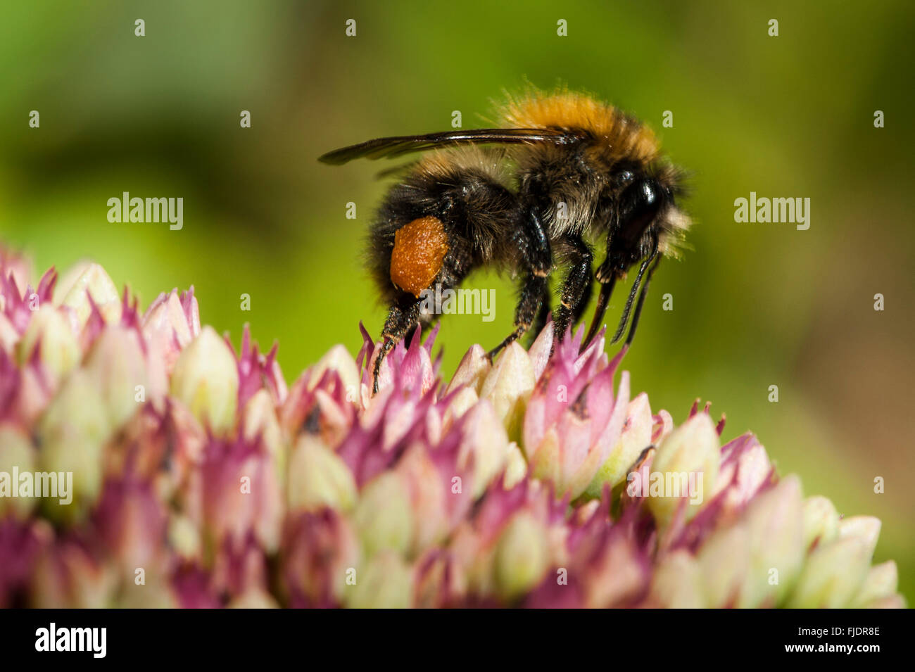 Close-up of a bumble bee - Stock Image