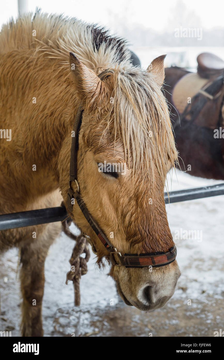 Horse Gear High Resolution Stock Photography And Images Alamy
