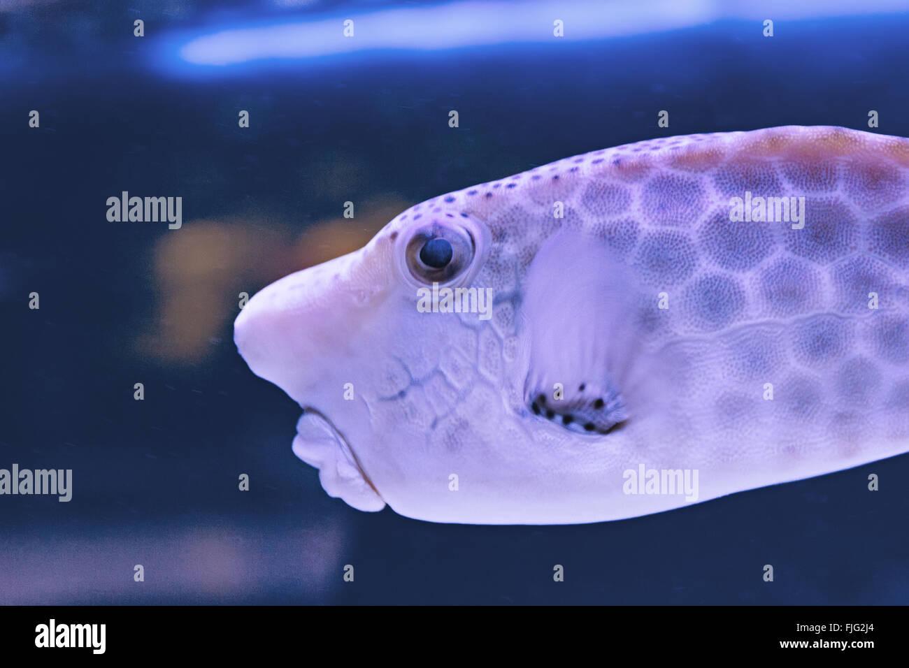 Thornback boxfish - solitair fish swimming close - Stock Image