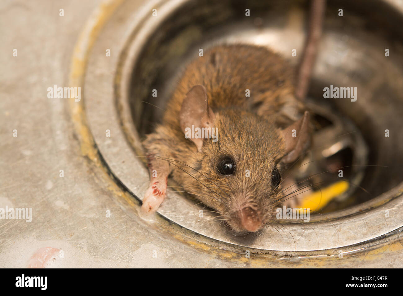 close up dirty Rat on sink ,in kitchen room Stock Photo: 97470235 ...