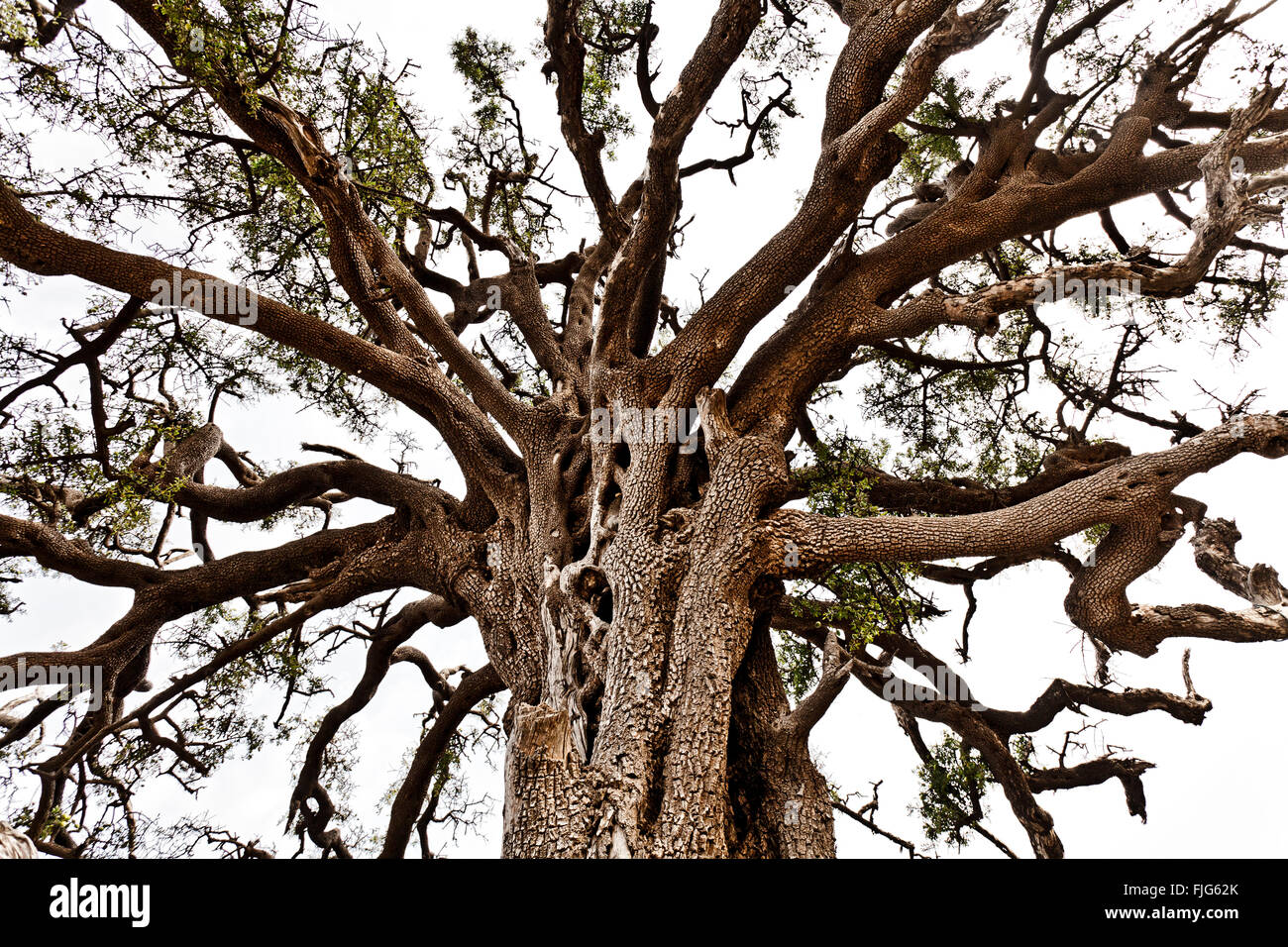 Treetop of an old Argan tree (Argania spins), in the biosphere reserve Arganerie, Essaouira, Morocco - Stock Image