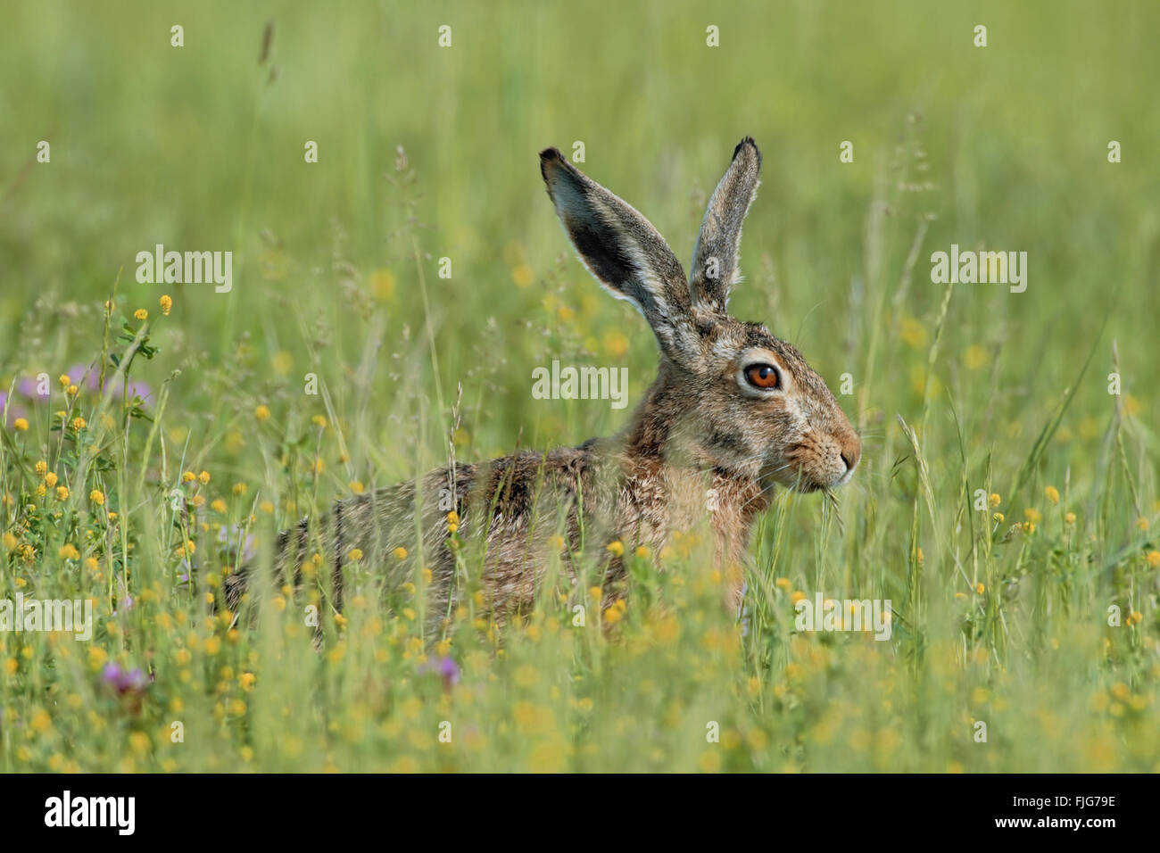 Brown Hare / European Hare / Feldhase ( Lepus europaeus ), adult, sits in a meadow with flowers, feeding on grass, - Stock Image