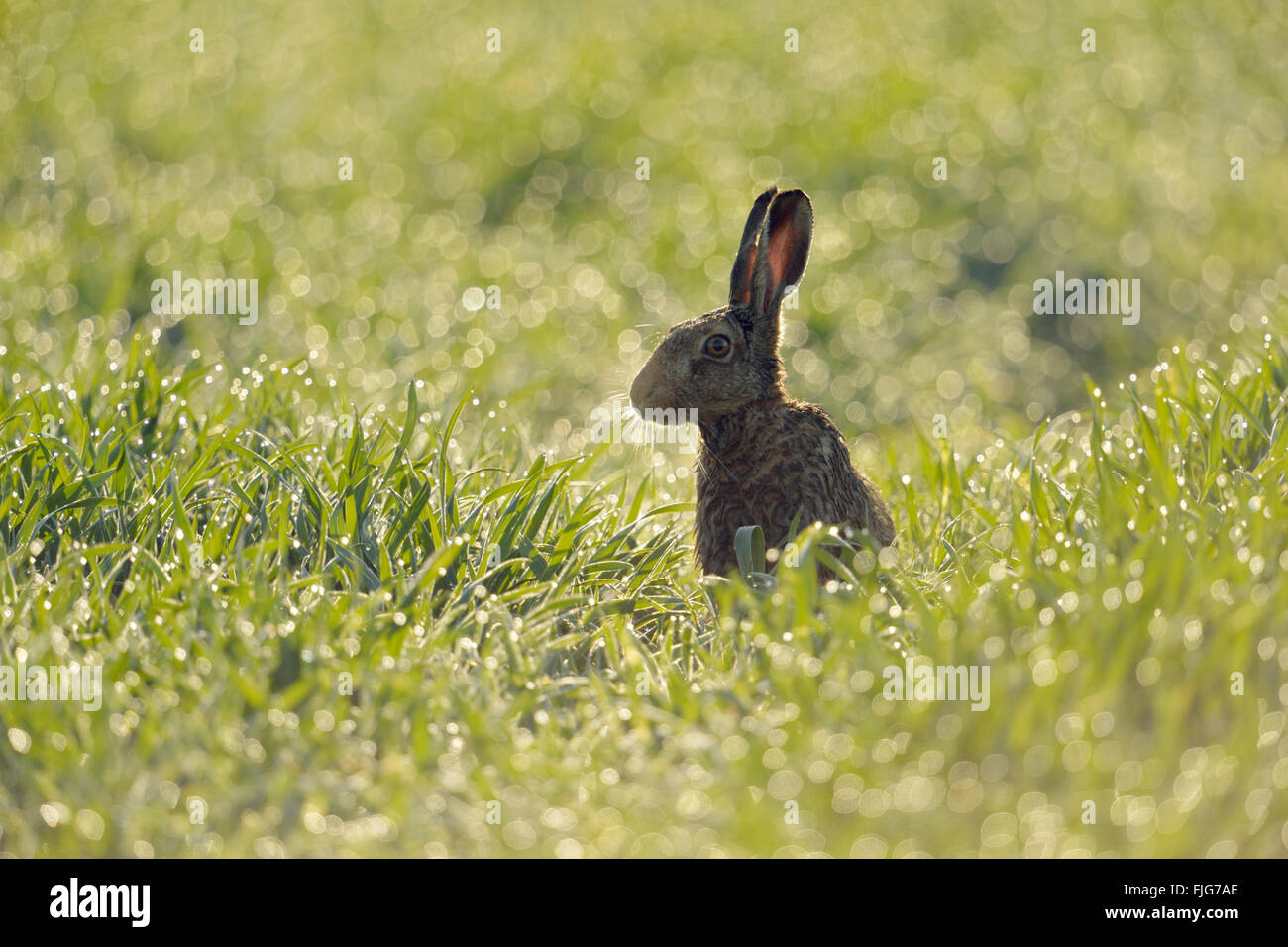 Brown Hare / European Hare / Feldhase ( Lepus europaeus ) sitting in a field of winter wheat, thousands of dewdrops - Stock Image