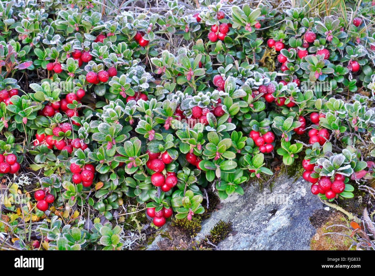 Lingonberry, mountain cranberry (Vaccinium vitis-idaea) with hoarfrost, Kaiser-Franz-Josefs-Höhe, High Tauern - Stock Image