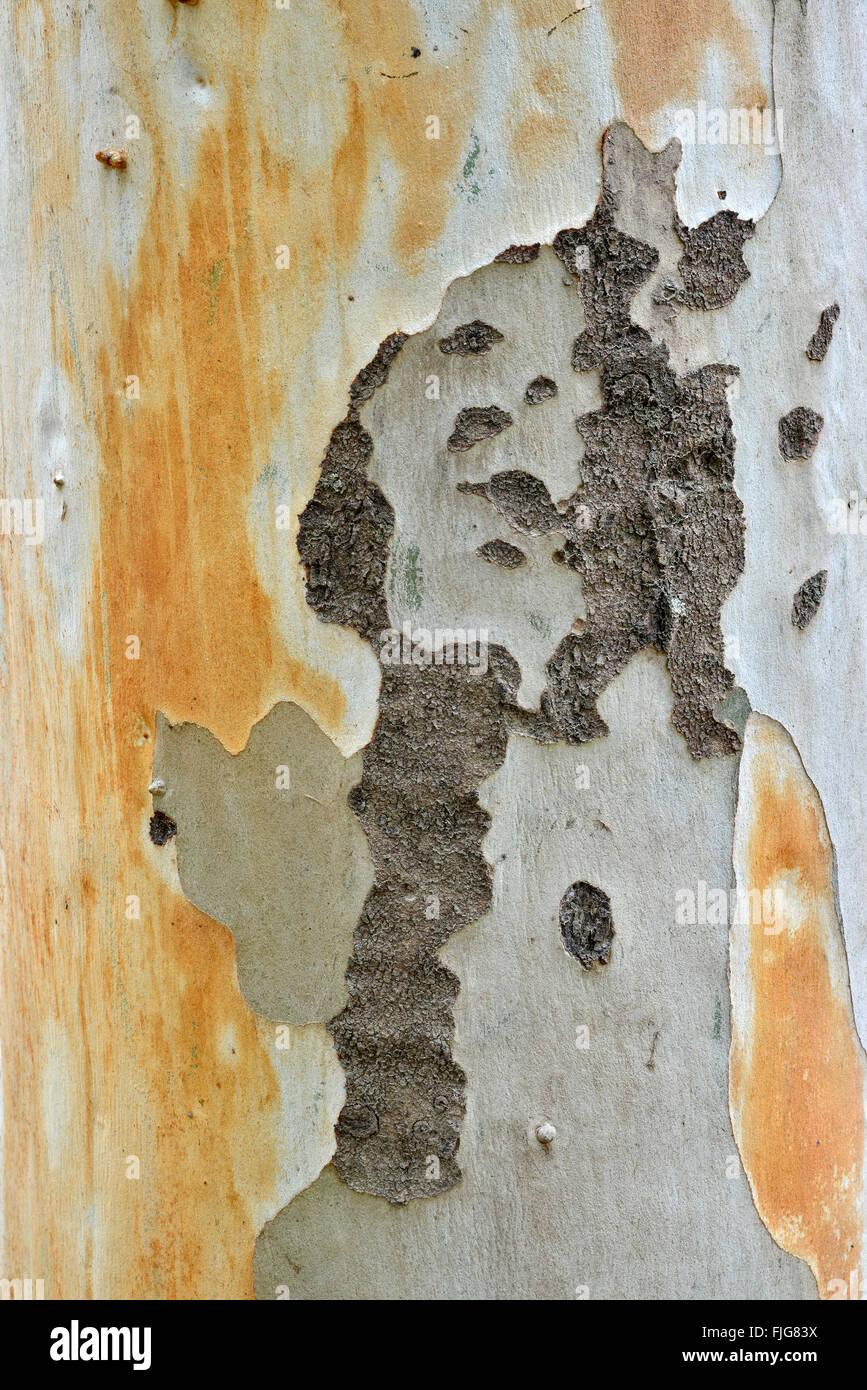 Eucalyptus (Eucalyptus spp.) bark, Sardinia, Italy Stock Photo