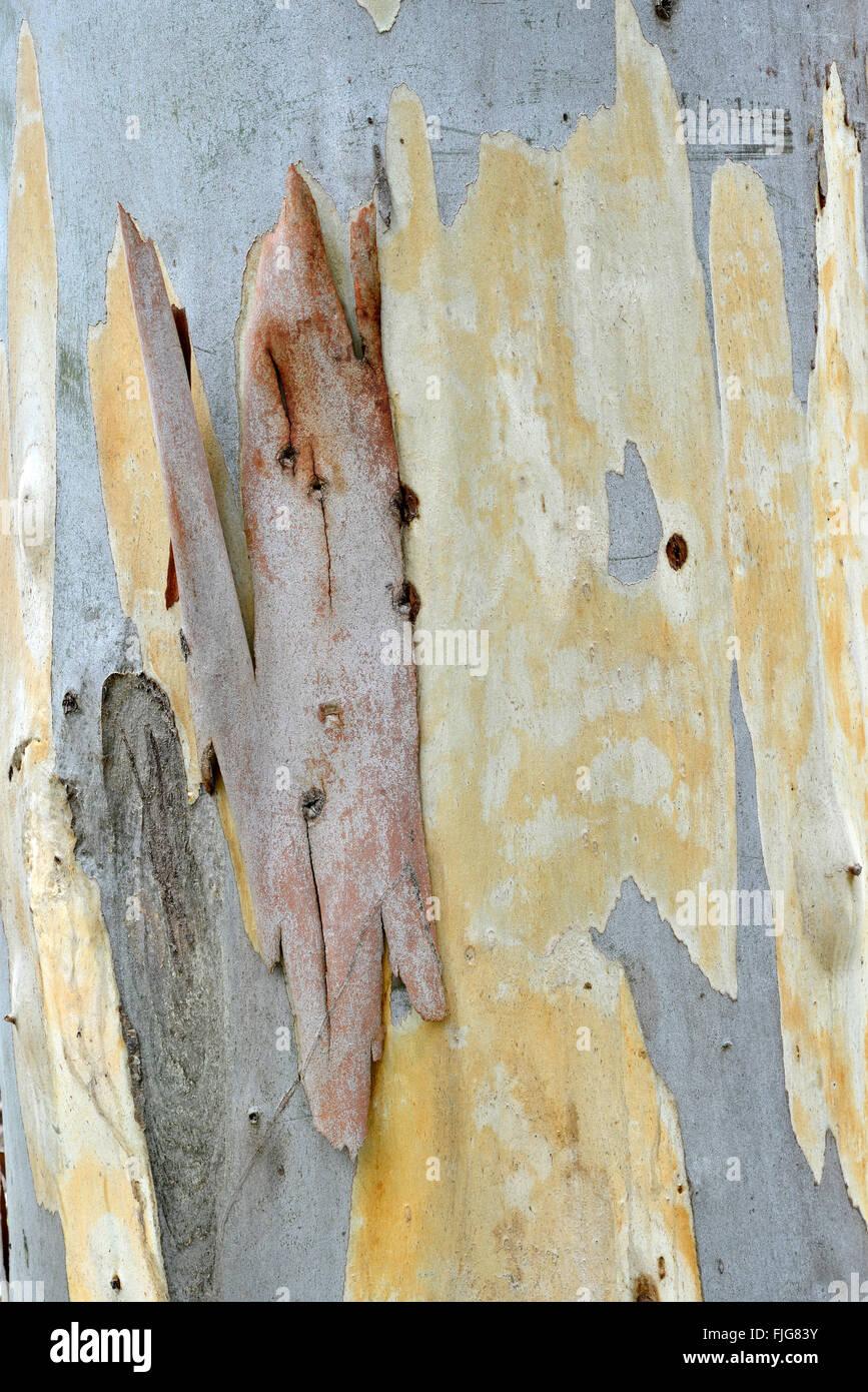 Eucalyptus (Eucalyptus spp.) bark, Sardinia, Italy - Stock Image