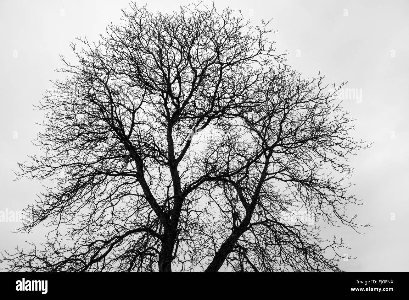 Treetop of a fine branched, bare tree against gray sky - Stock Image