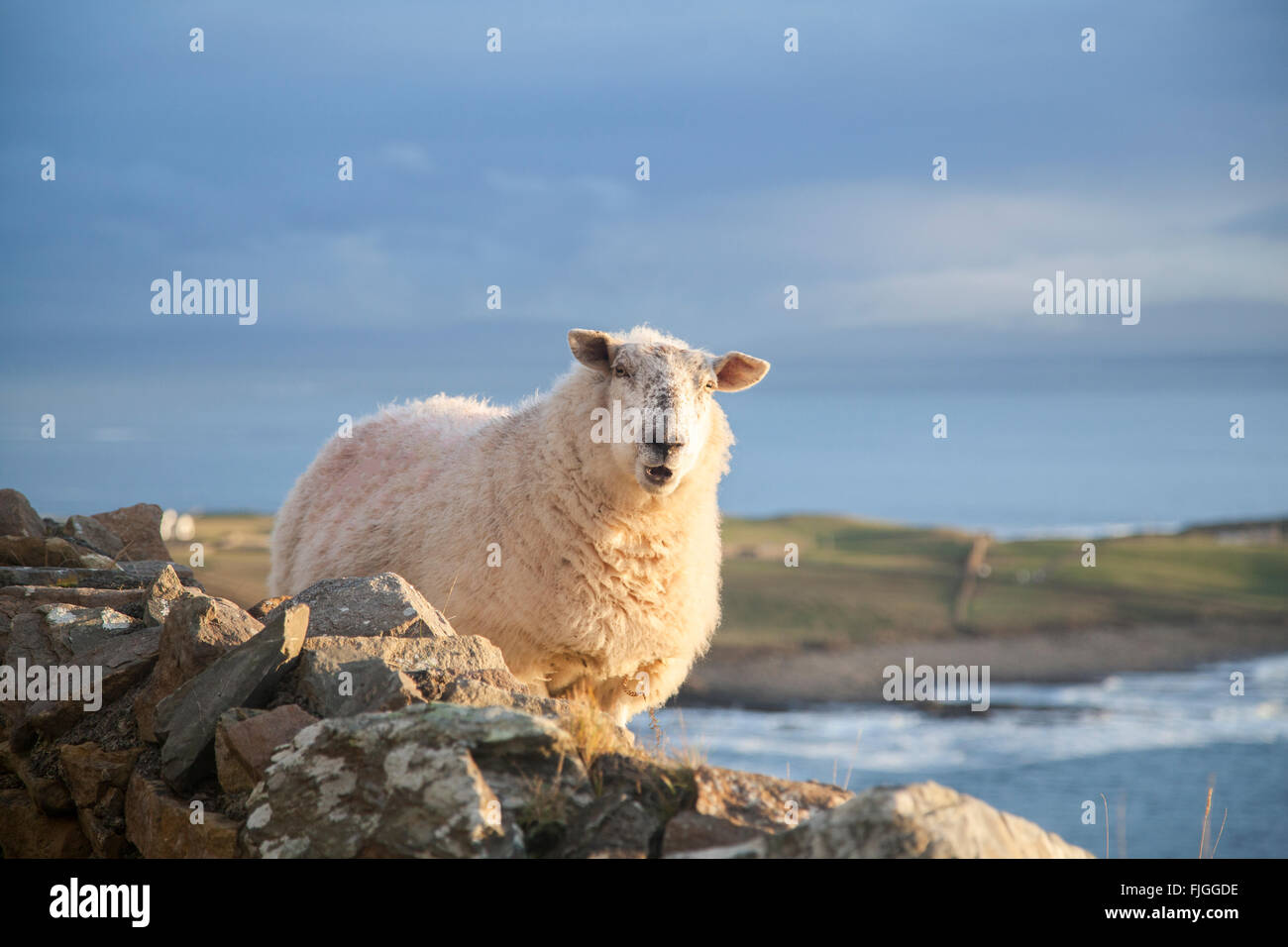A sheep on the west coast of Ireland - Stock Image