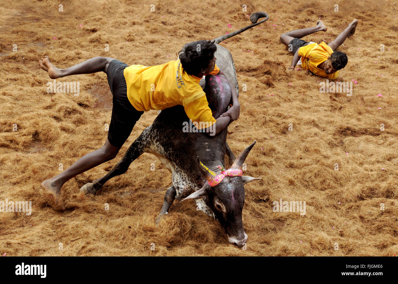 Jallikattu / Taming the bull is a 2000 year old sport in Tamilnadu,India.It happens during Pongal celebration. - Stock Image