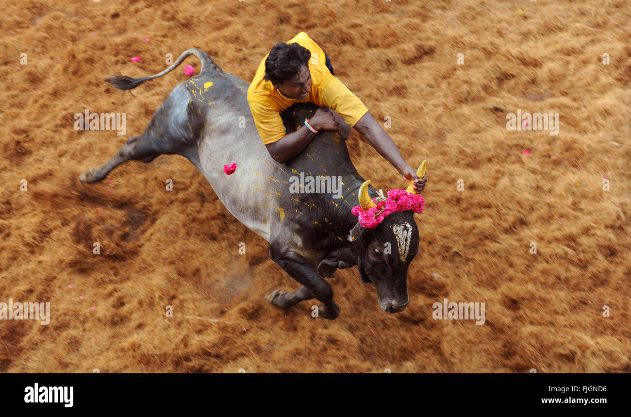 Jallikattu / Taming the bull is a 2000 year old sport in Tamilnadu, India.It happens during pongal ( harvest festival - Stock Image