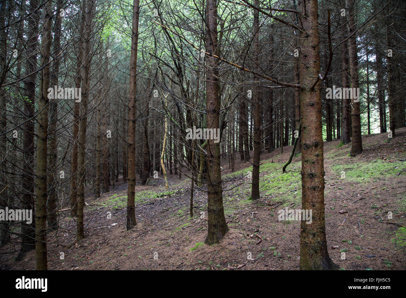 one bright green broadleaved tree within a dark conifer forest, speckles of greenery on the brown soil - Stock Image