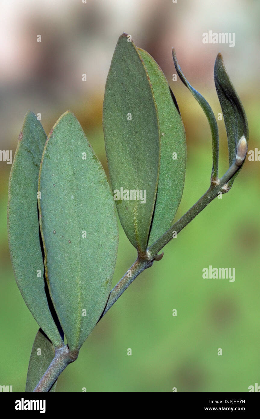 Jojoba (Simmondsia chinensis / Buxus chinensis) keeping leaves at right angles with sun to reduce evaporation of - Stock Image