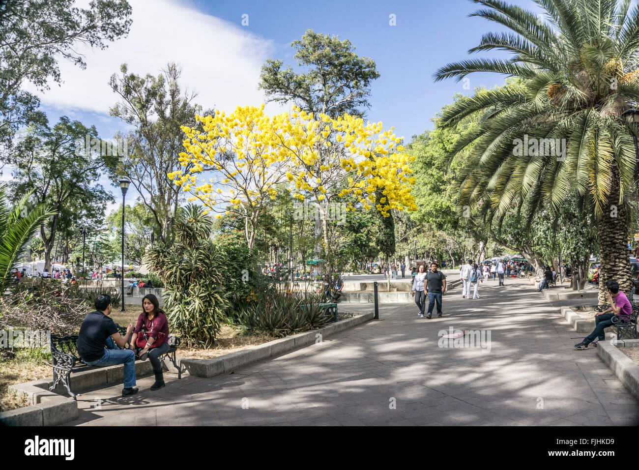 joyous spring scene Llano park Oaxaca with bright yellow blooming Acacia trees & couples strolling sitting in - Stock Image