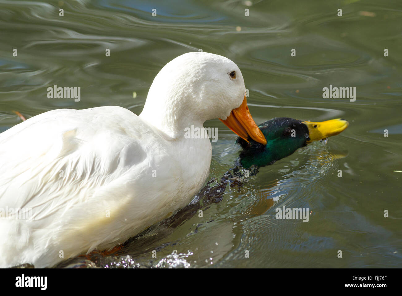 Pekin duck tries to drown mallard. - Stock Image