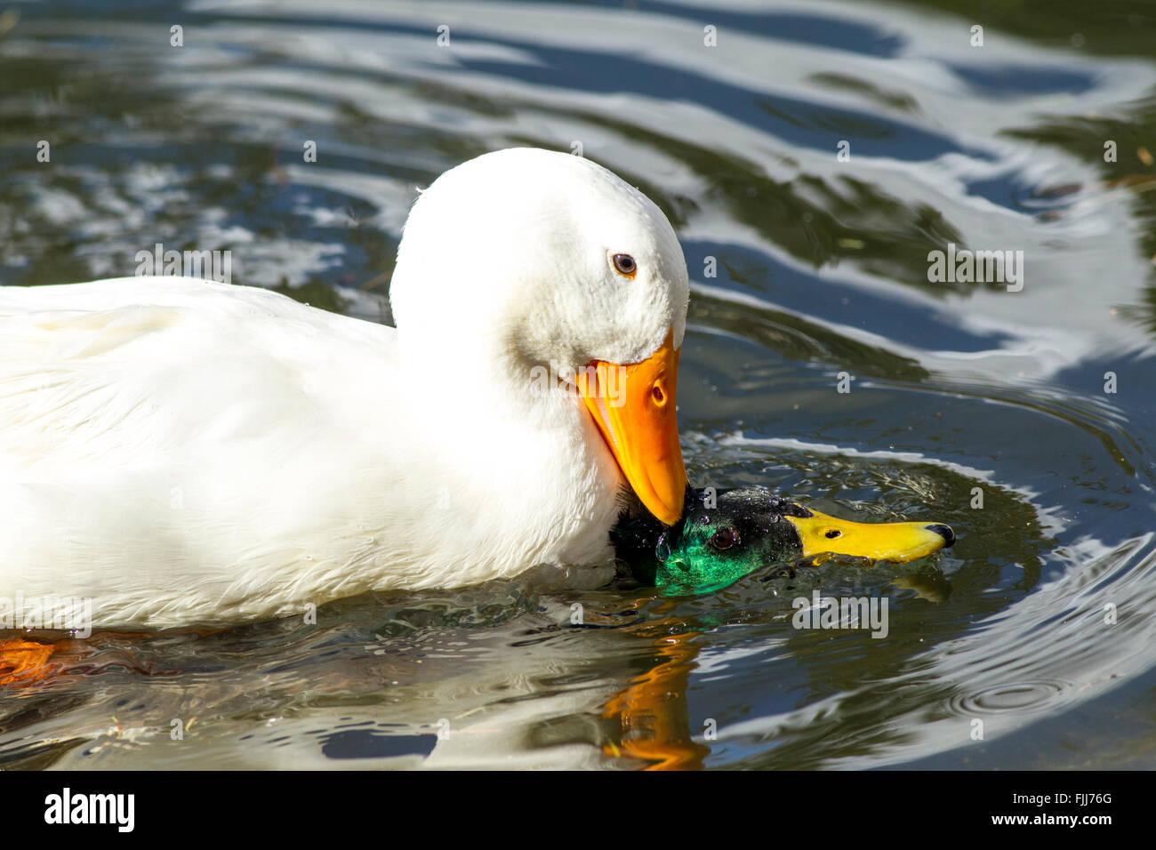 Pekin duck fights with mallard. - Stock Image