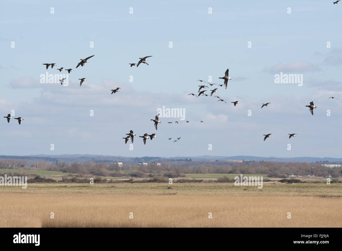 Flock of brent geese (Branta bernicla) in flight over Farlington Marshes in Hampshire, England. - Stock Image