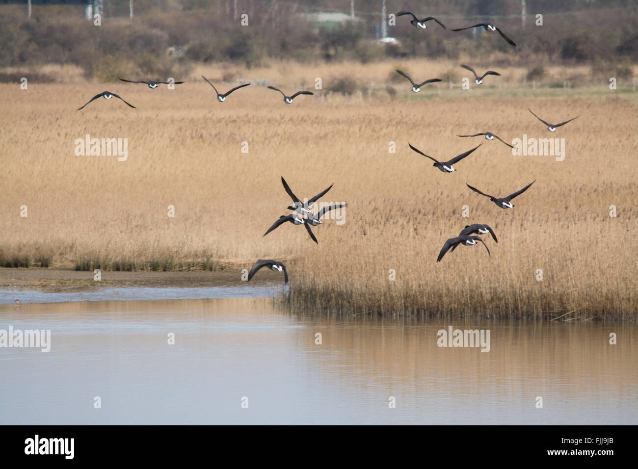 Brent geese (Branta bernicla) in flight over Farlington Marshes in Hampshire, England. - Stock Image