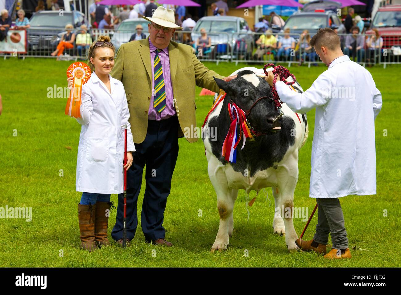 Young girl with her bull at agricultural show. Holding rosette for Livestock Champion prize. Skelton Show, Penrith, - Stock Image