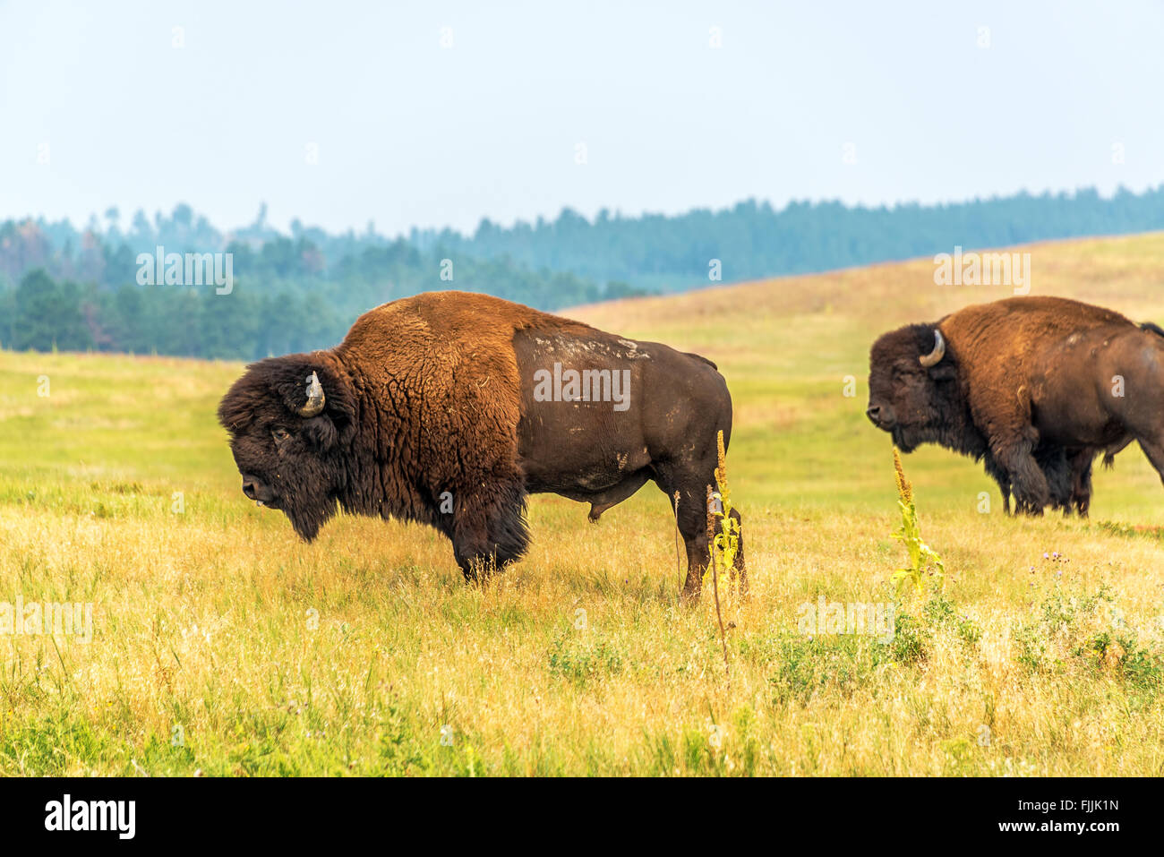 Two bison in Custer State Park, South Dakota - Stock Image