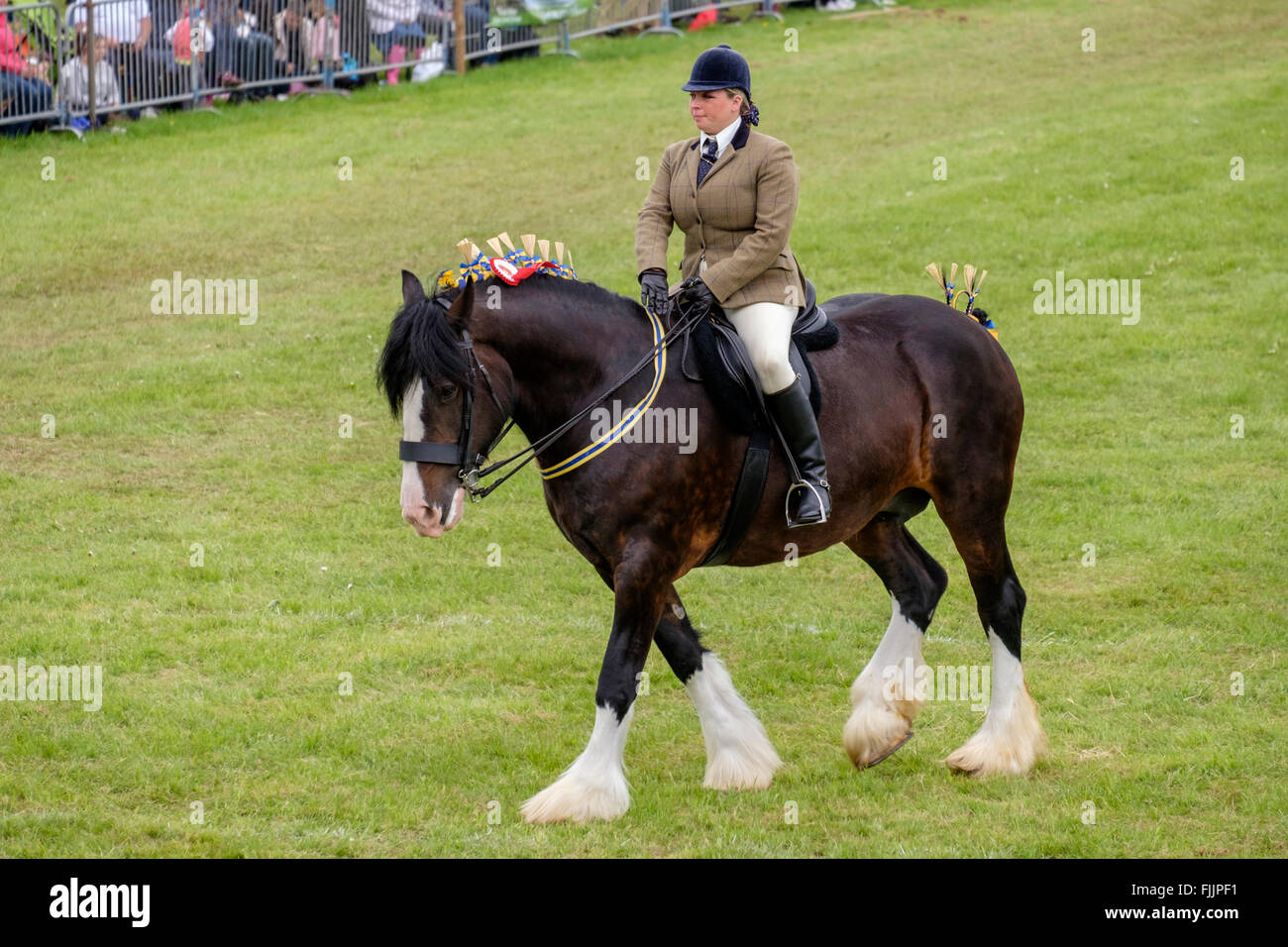 Champion Shire horse being ridden in the show ring North Somerset Show - Stock Image