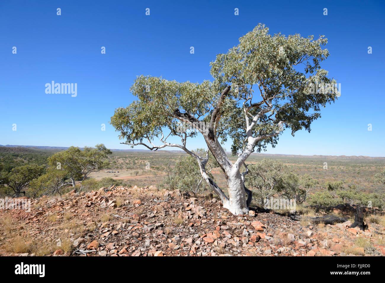 Snappy Gum (Eucalyptus racemosa), Queensland, QLD, Australia - Stock Image
