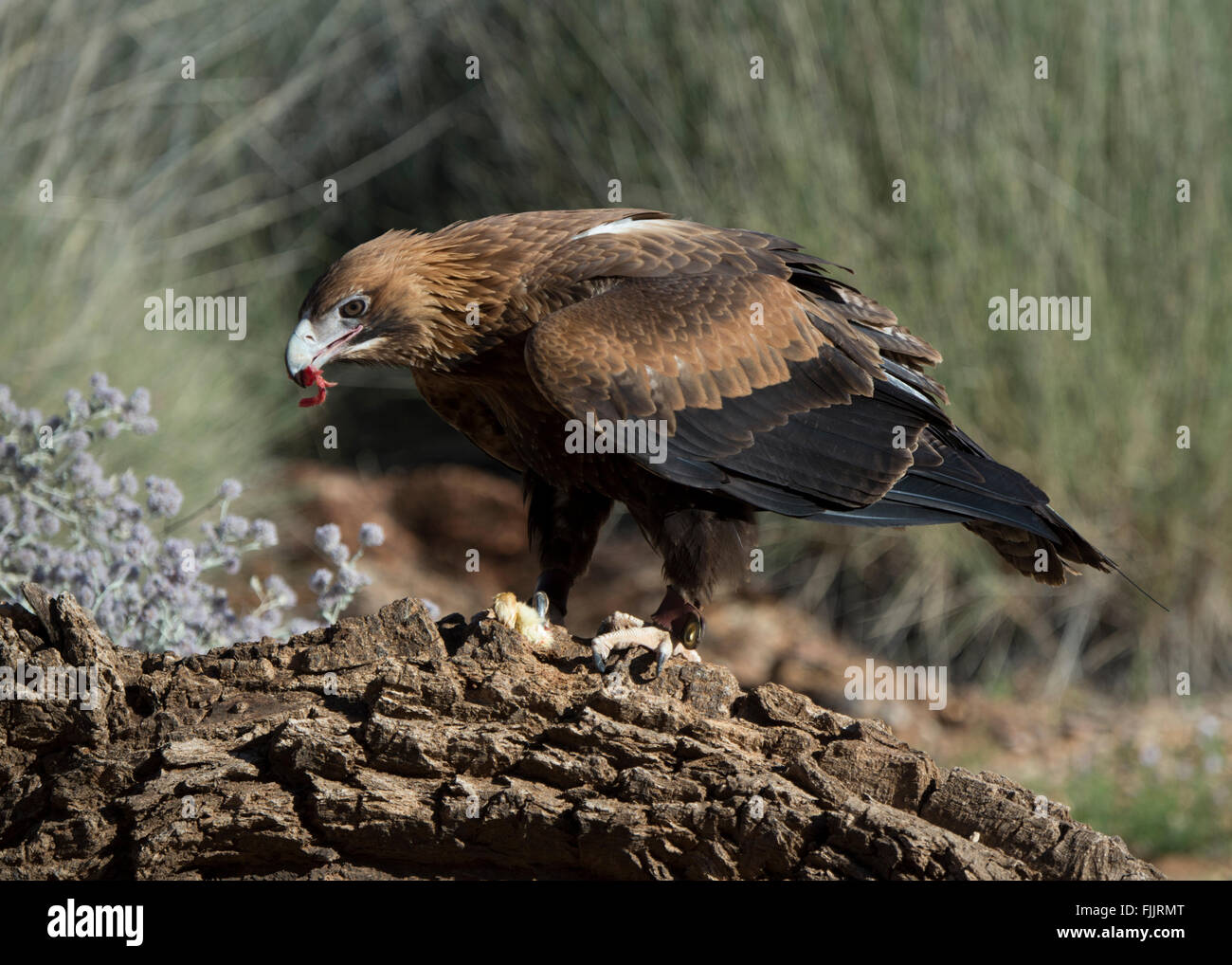 Wedge-tailed Eagles (Aquila audax), Alice Springs Desert Park, Northern Territory, Australia - Stock Image