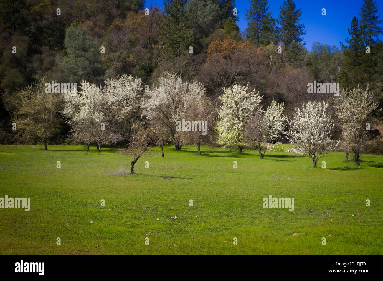 Historic Monroe Orchard, Marshall Gold Discovery State Historic Park, Coloma, California - Stock Image