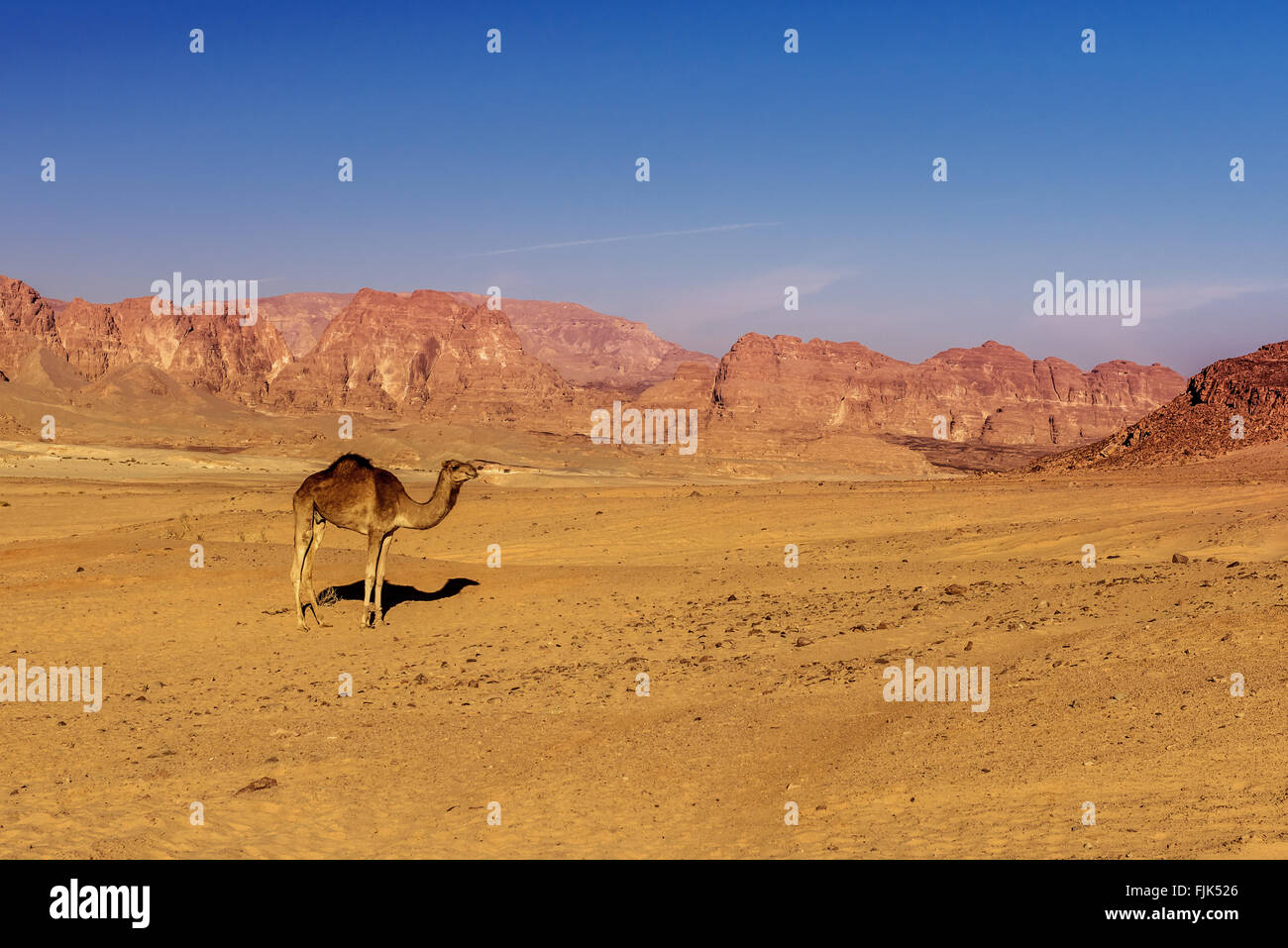 camel on sand in hot Sinai desert Egypt - Stock Image