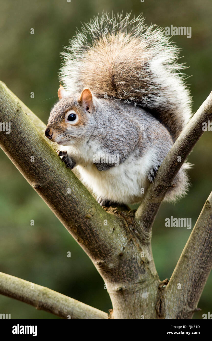 Eastern grey squirrel (Sciurus carolinensis) - Beacon Hill Park, Victoria, Vancouver Island, British Columbia, Canada - Stock Image