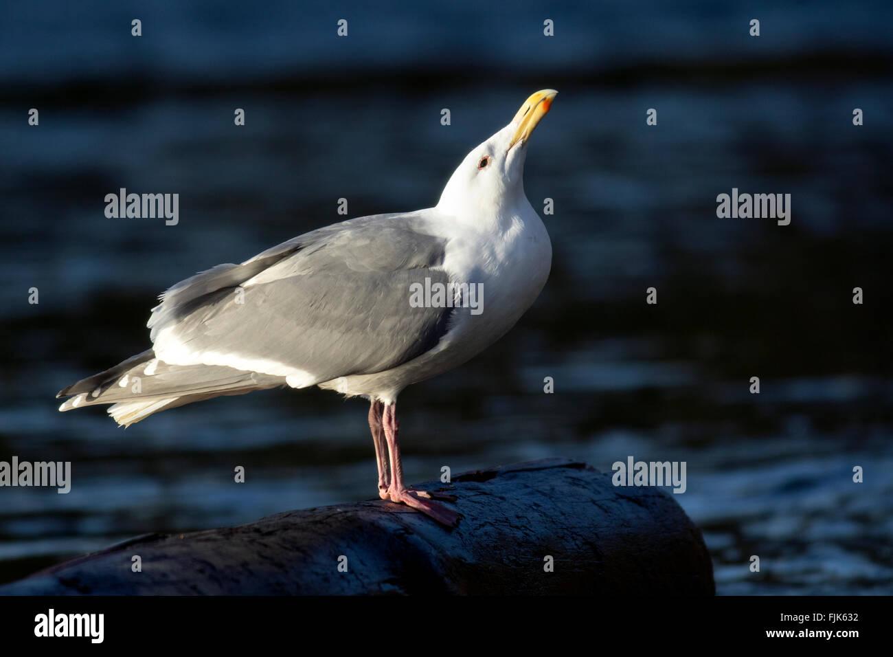 Glaucous-winged Gull (Larus glaucescens) - Victoria, Vancouver Island, British Columbia, Canada - Stock Image