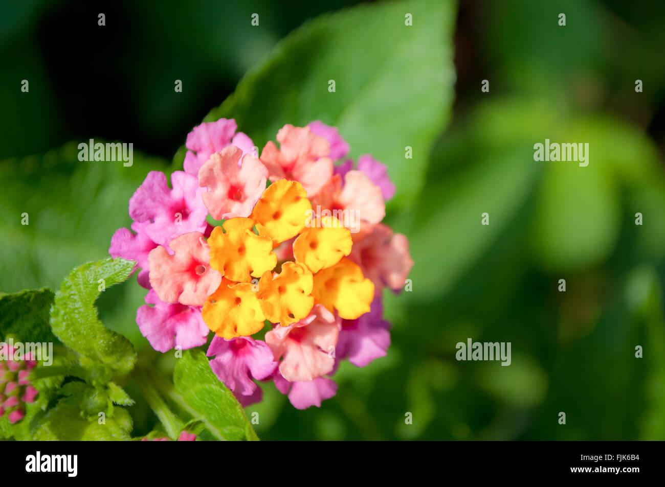 Close up of yellow and pink fower named Lantana Camara, also known as big-sage (Malaysia), wild-sage, red-sage, Stock Photo