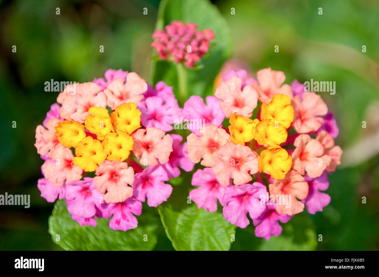 Close up of yellow and pink fower named Lantana Camara, also known as big-sage (Malaysia), wild-sage, red-sage, Stock Photo
