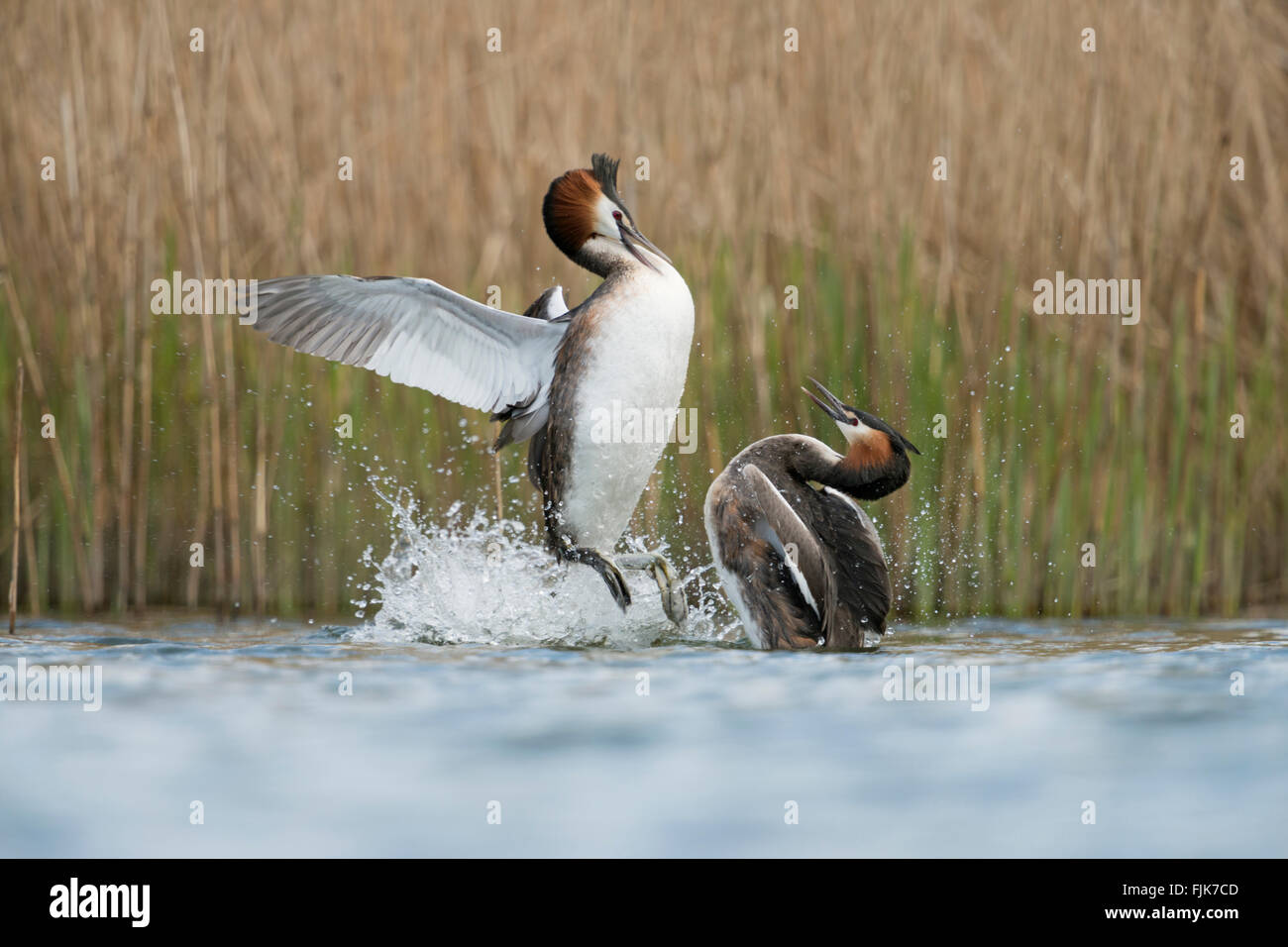 Great Crested Grebes / Haubentaucher ( Podiceps cristatus ), in aggressive fight, defensing breeding-territories - Stock Image