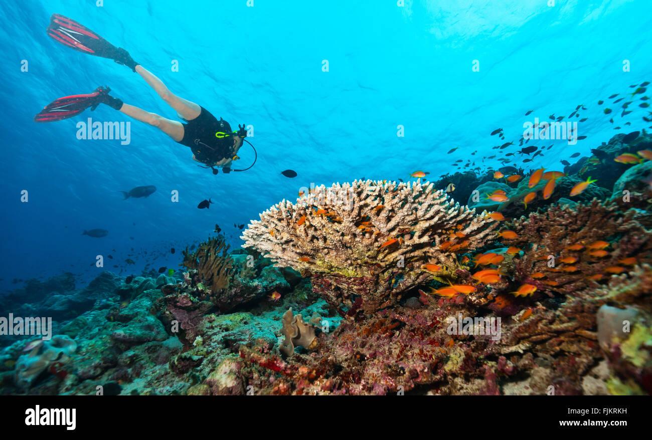 Scuba diver explore a coral reef - Stock Image