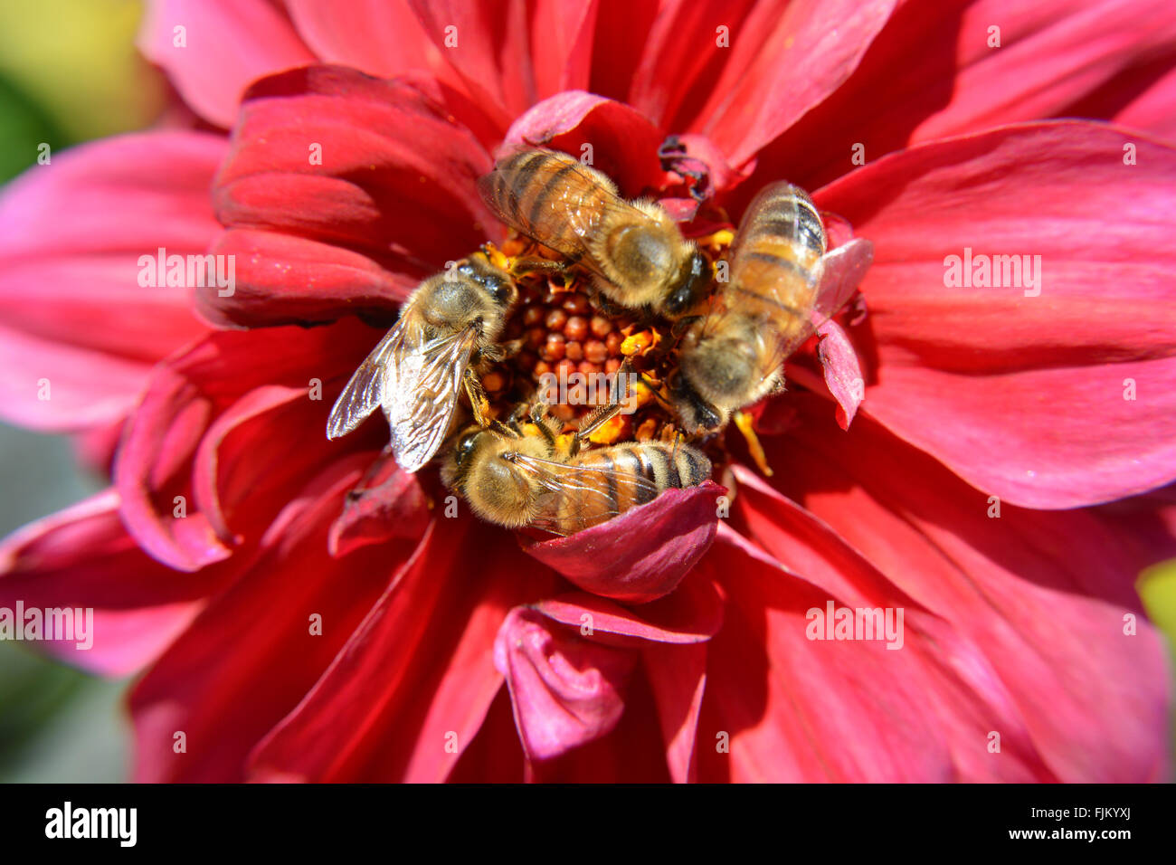 Four Honey Bees Swarm Pollinate a Red Flower - Stock Image