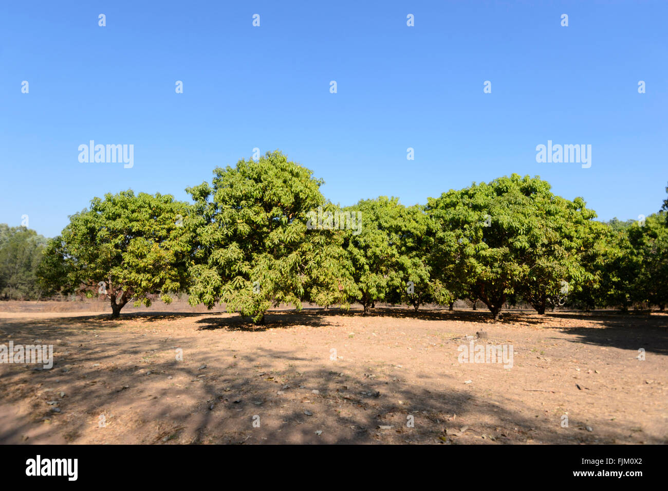 Daly River Mango Farm, Northern Territory, Australia - Stock Image