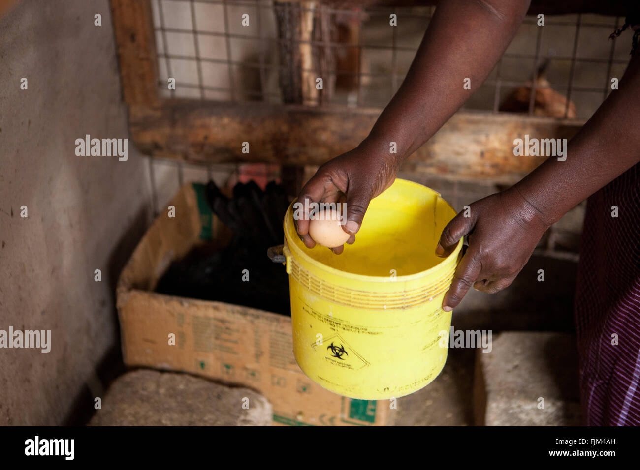 A poultry farmer collecting eggs, Tanzania - Stock Image