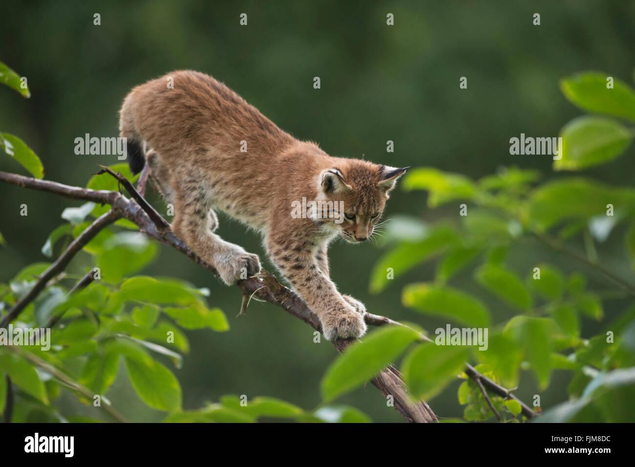 Eurasian Lynx / Eurasischer Luchs ( Lynx lynx ), cute cub with huge paws, balances on a branch of a bush, training Stock Photo