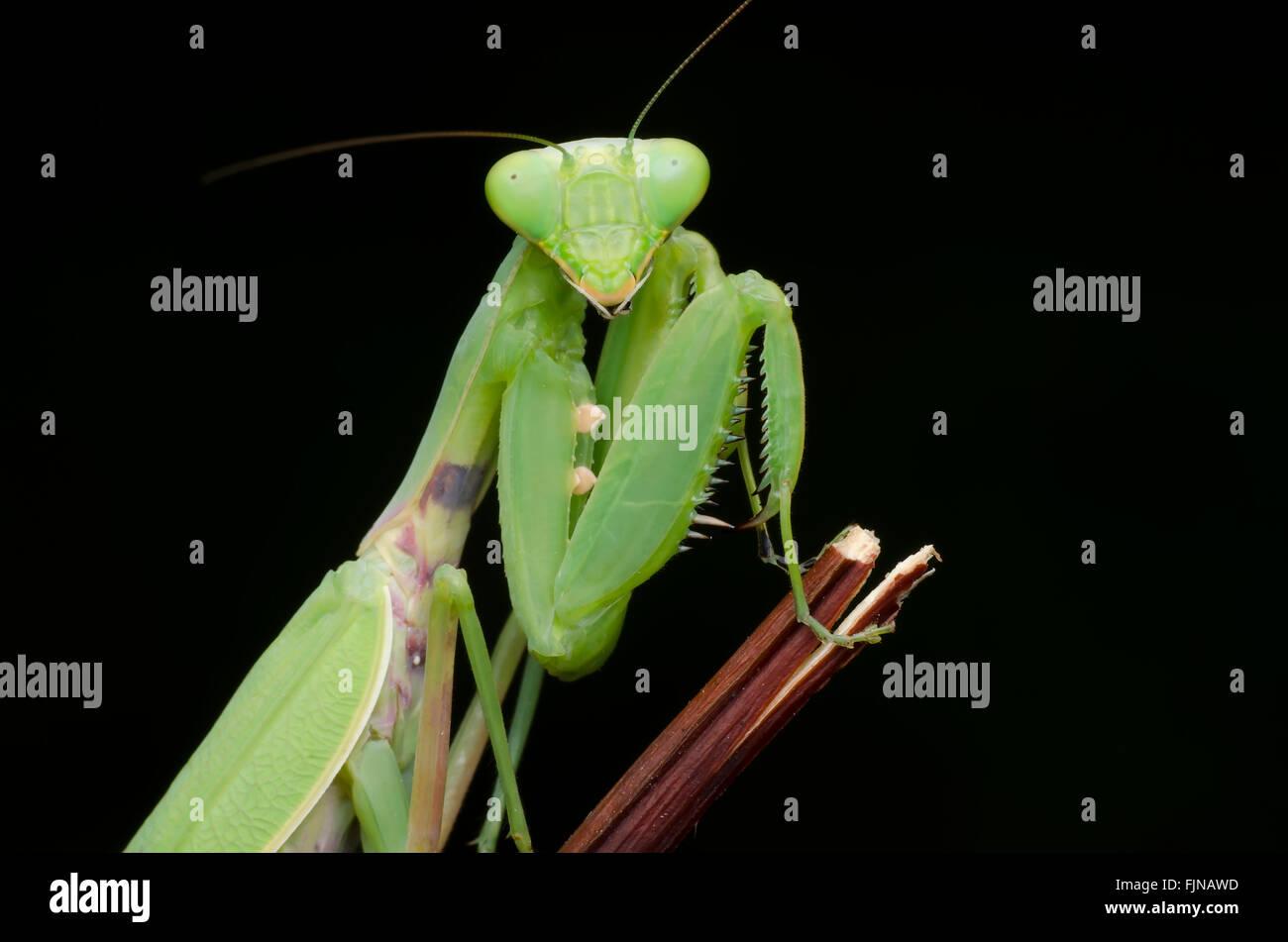 green praying mantis isolated on black background Stock Photo