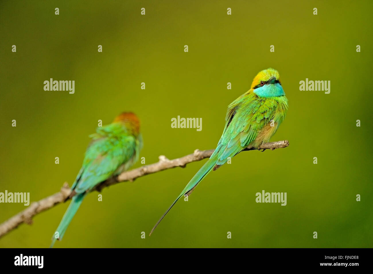 Two green bee-eaters (Merops orientalis) birds sitting on a branch with a green background in Yala national park - Stock Image