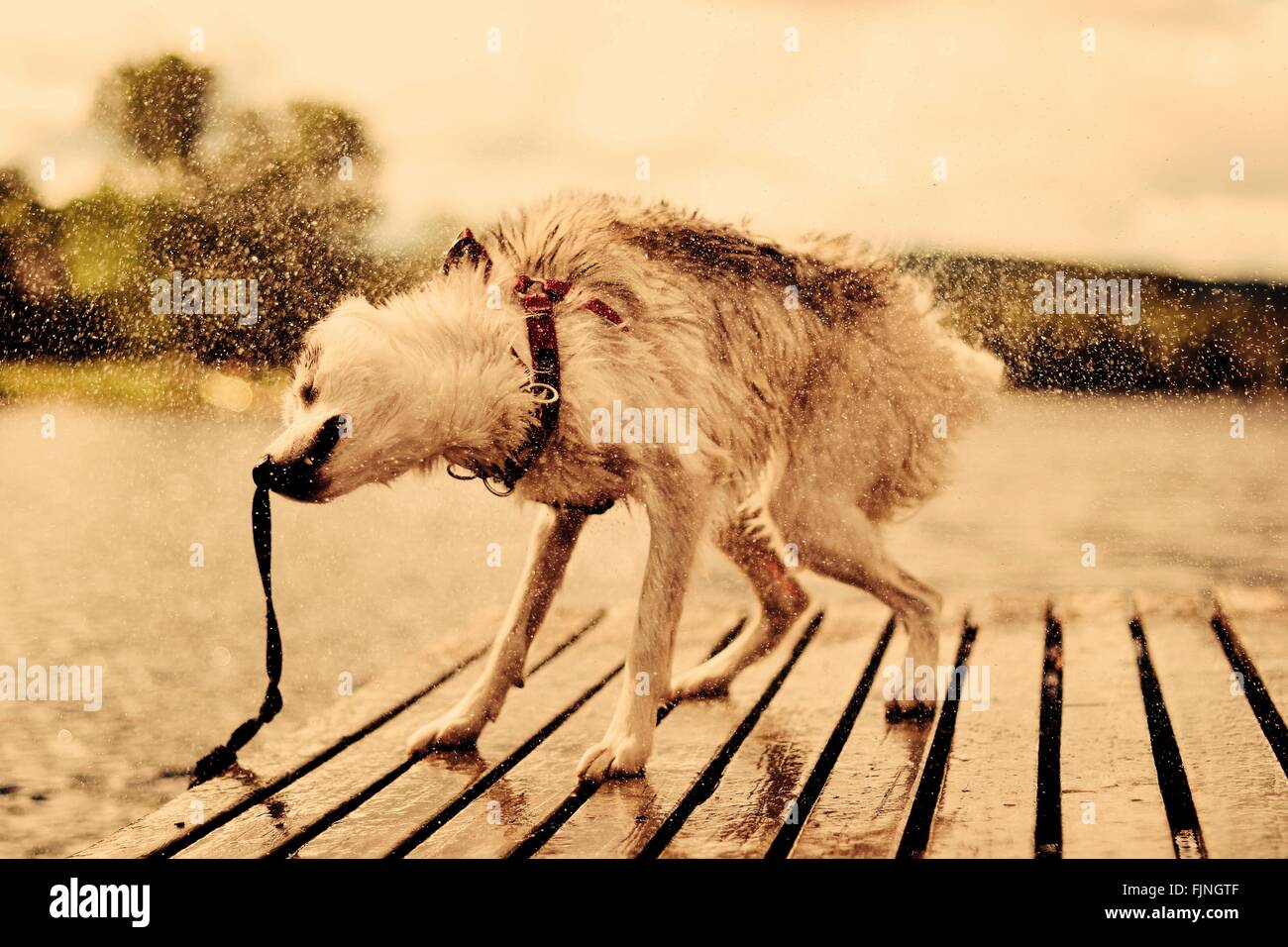 Dog Shaking Water On Pier Against Sky - Stock Image