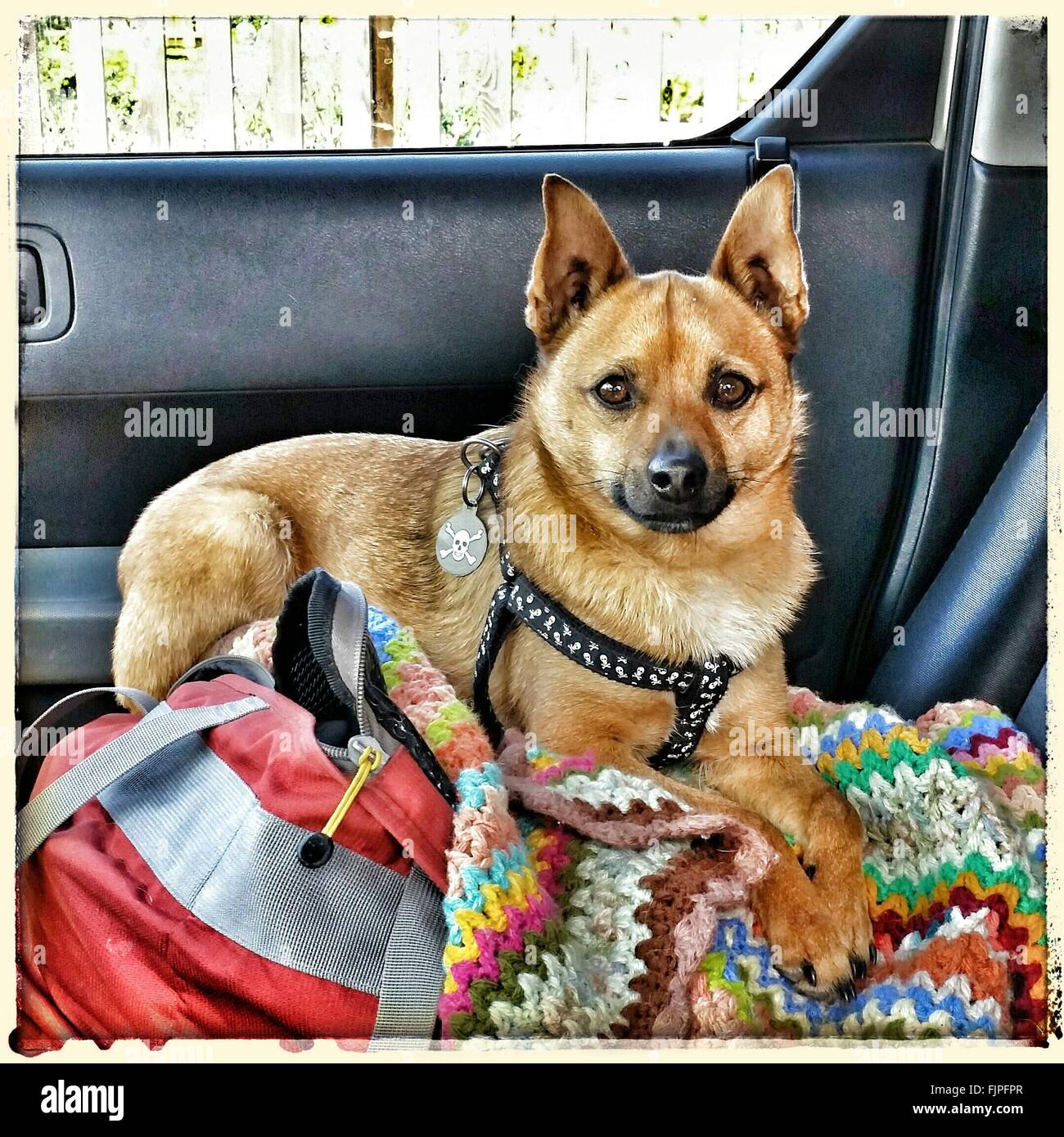 Close-Up Of Dog Sitting In Car - Stock Image