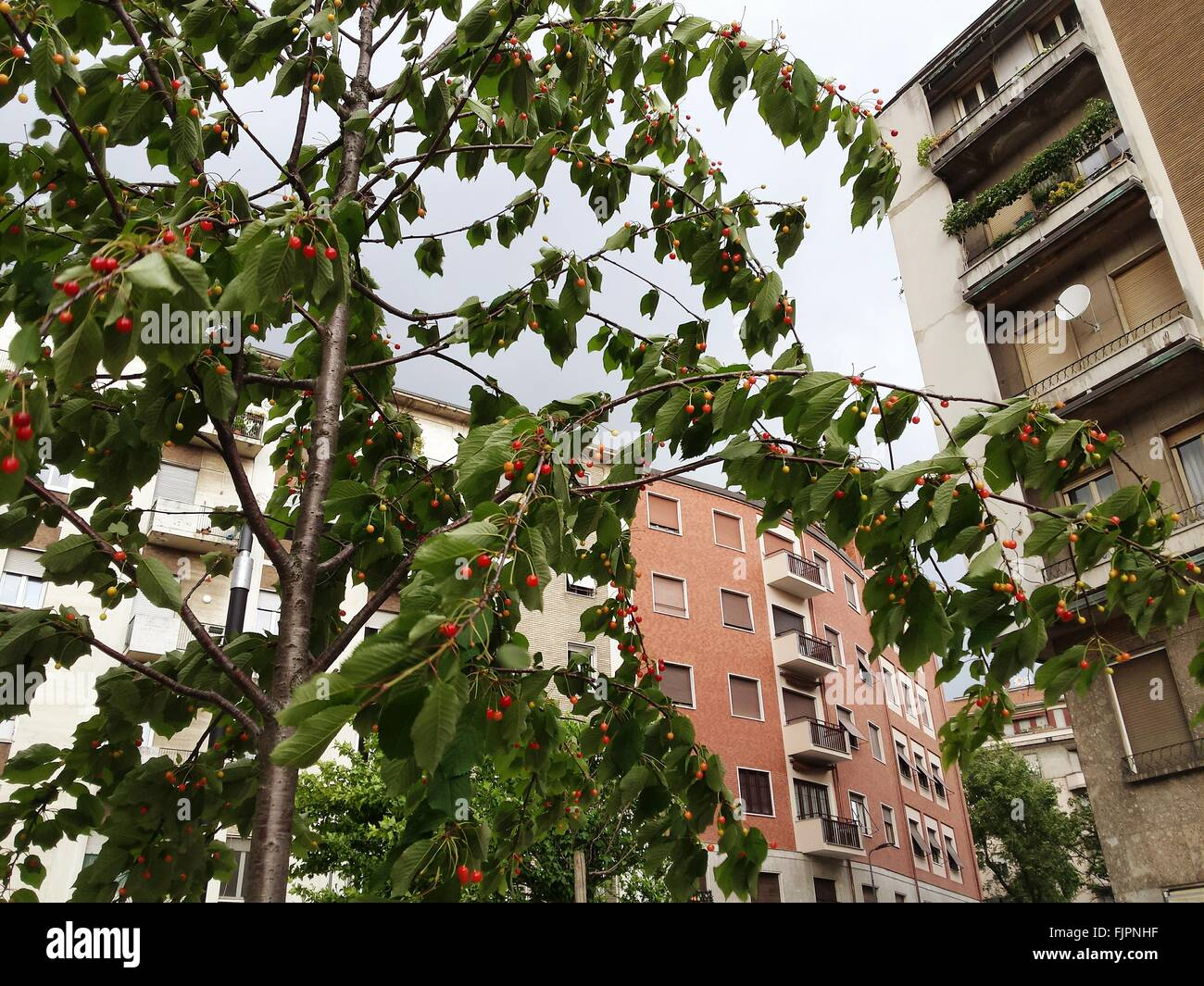 Low Angle View Of Fruit Tree With Buildings In Background - Stock Image