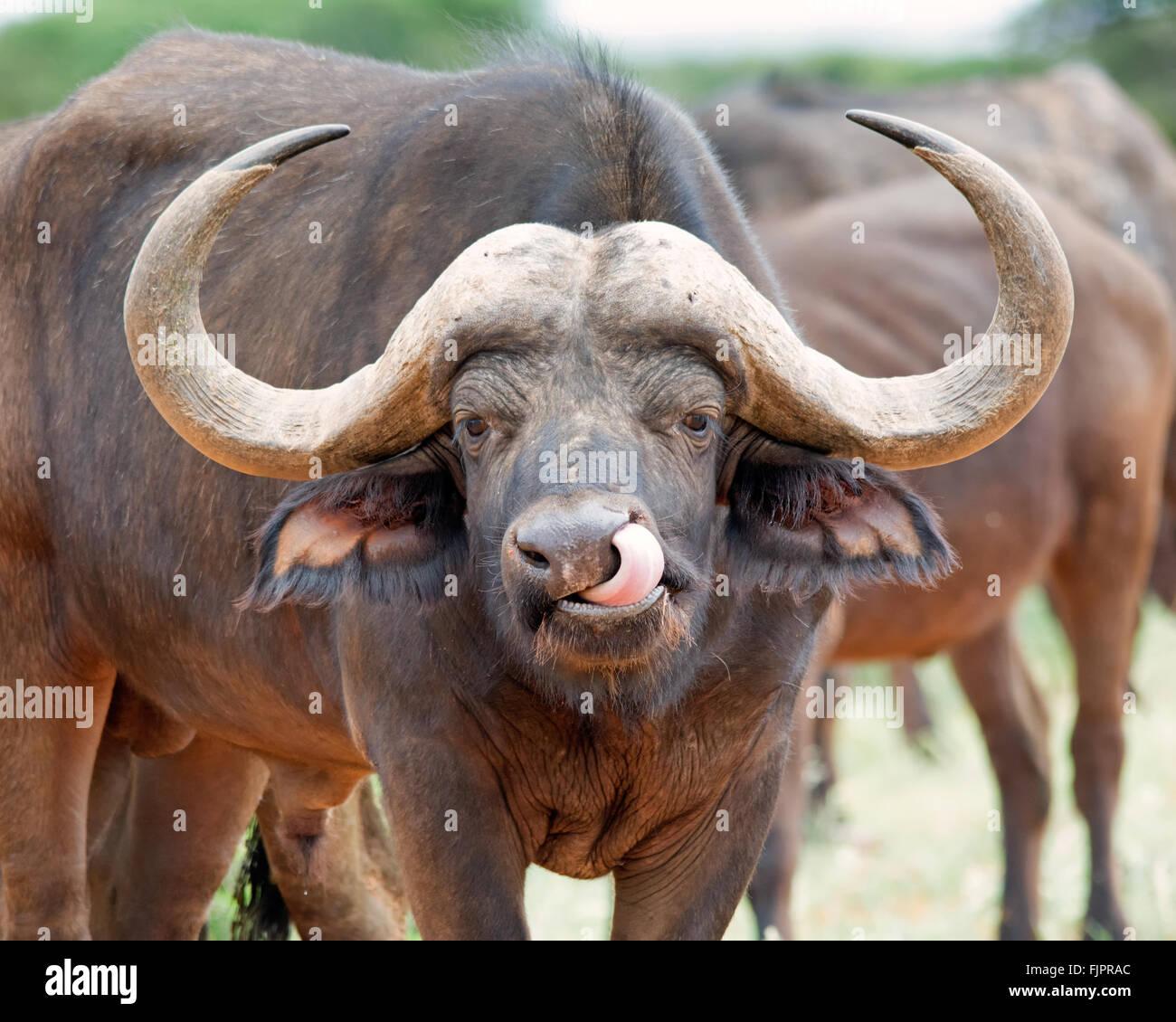 African Buffalo grooming - Stock Image