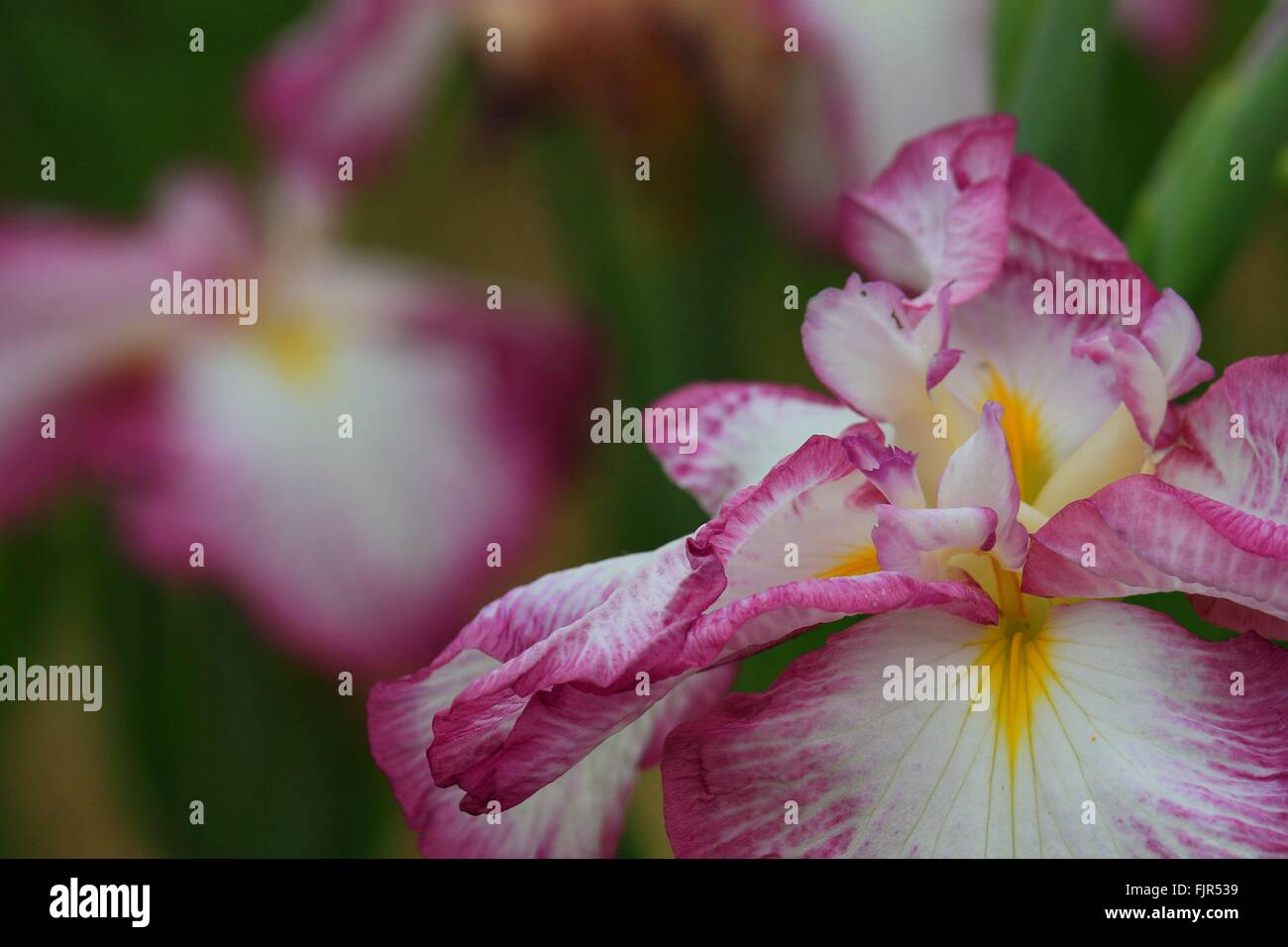 Close Up Pink Iris Flower Stock Photos Close Up Pink Iris Flower