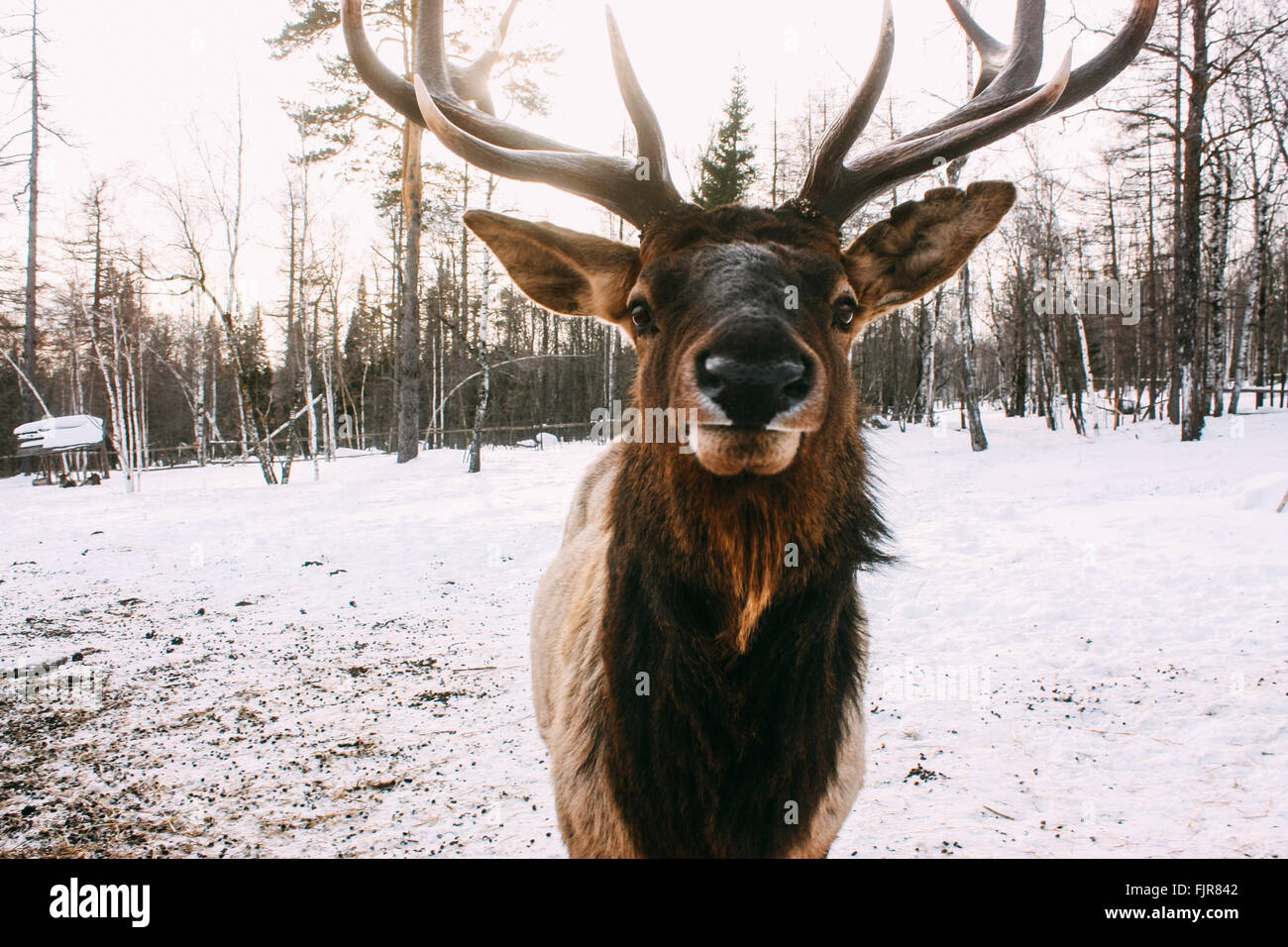 Portrait of Royal red deer buck with antlers - Stock Image