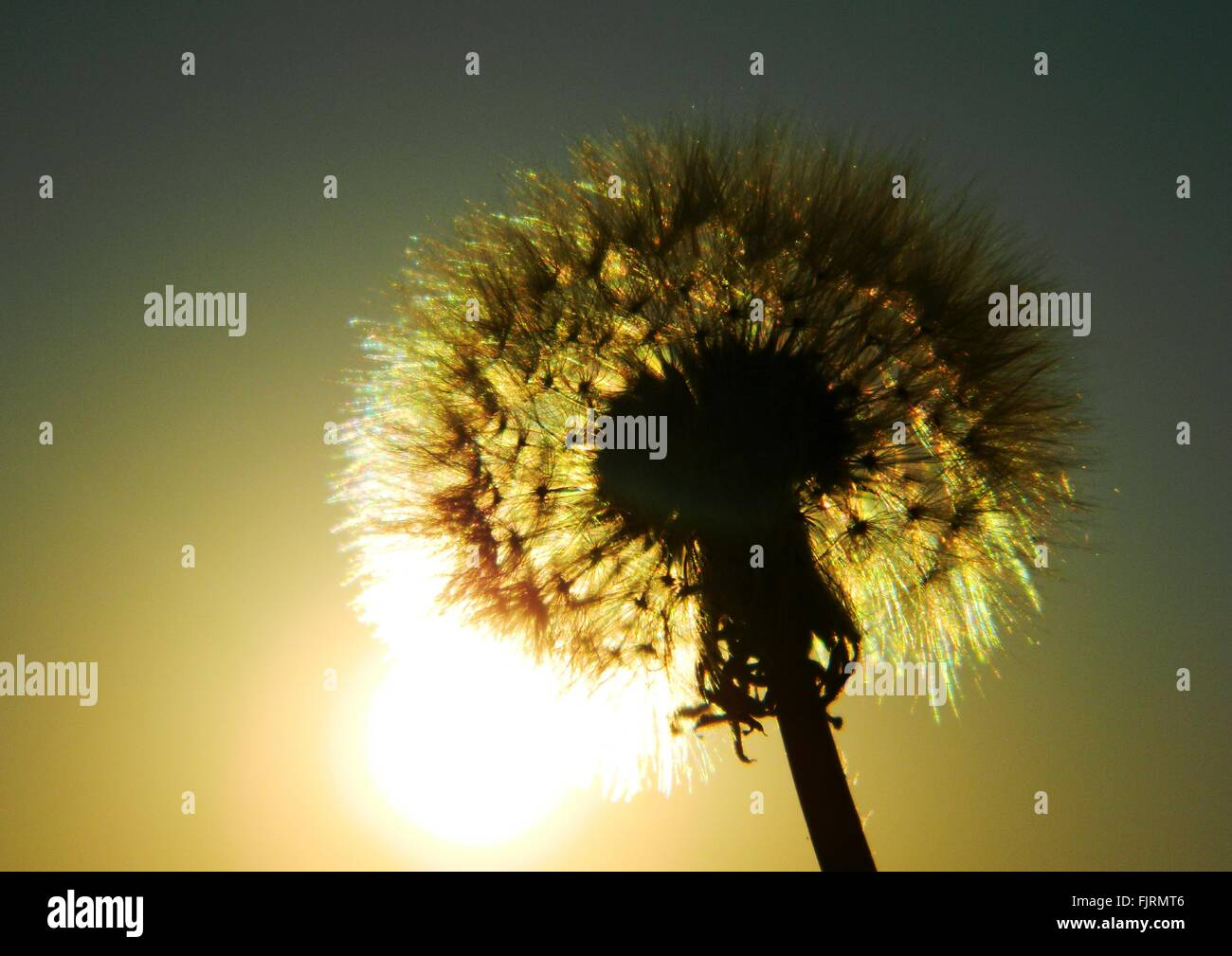 Low Angle View Of Silhouette Dandelion Against Sunset Sky Stock Photo