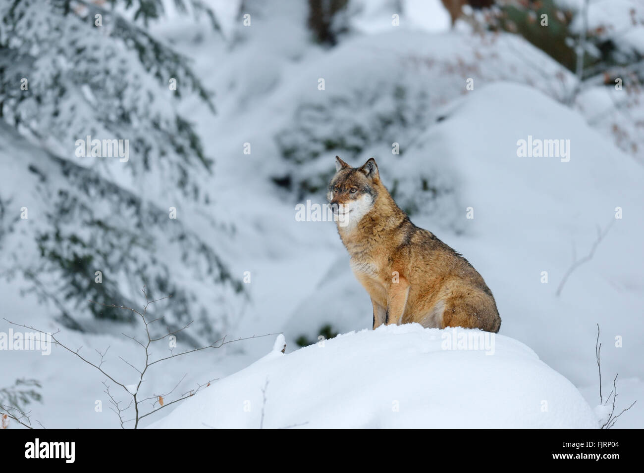 Gray Wolf (Canis lupus) sitting on a snowy hill, animal outdoor enclosures, captive, Bavarian Forest National Park, Stock Photo