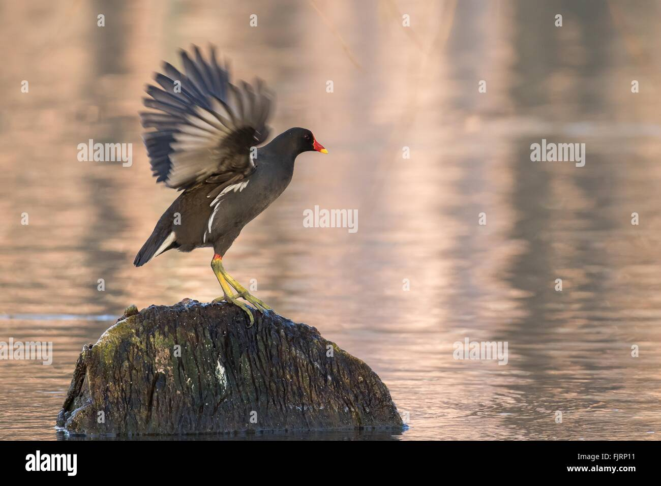Moorhen (Gallinula chloropus) on the outlook on a stump in the water flapping its wings, Hesse, Germany - Stock Image